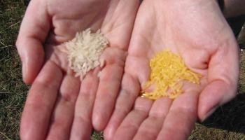 Golden Rice is just another improved rice strain, yet it has a great potential to cover micronutrient needs of rural, rice-based societies.